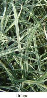 liríope como planta de cobertura