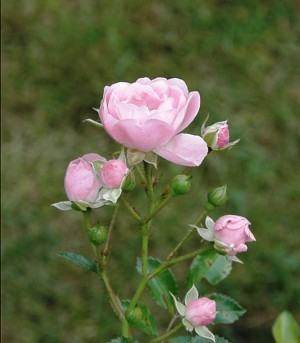 Botões de Rosa nascendo