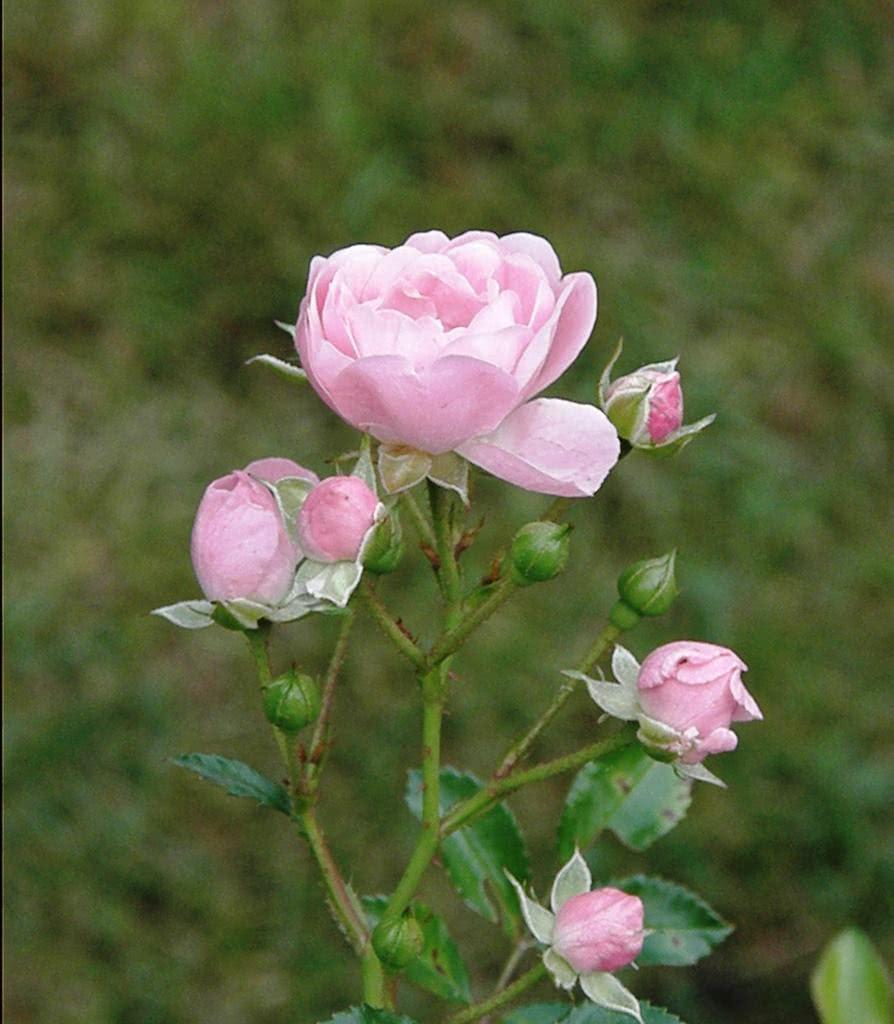 Favoritos Plantando Rosas em Vasos - FazFácil JD76
