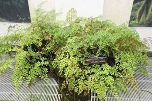 Avenca (Adiantum capillus-veneris)