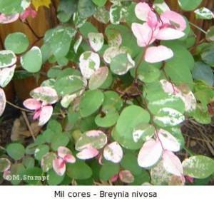 arbusto mil cores - breynia nivosa