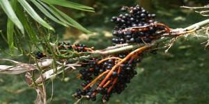 Chamaedorea seifrizii Burret