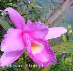 orquidea sobralia macrantha