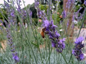 lavanda com abelha