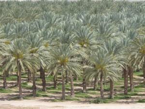 Plantação de tamareiras