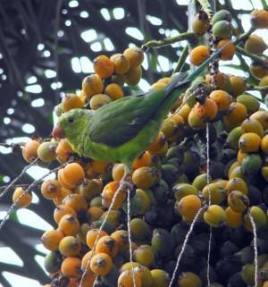 Coquinhos palmeira jeriva