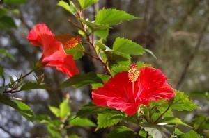 Hibisco sinensis (Hibiscus rosa sinensis)