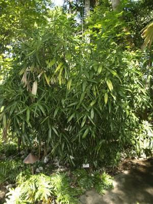 Palmeira Rafis Excelsea
