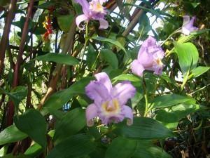 orquidea sobralia paisagismo