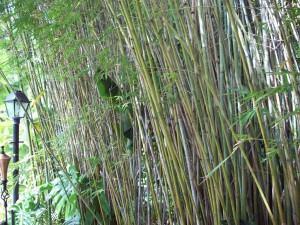 Bambuzinho de jardim(Bambu gracilis)