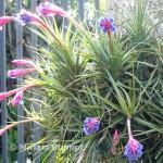bromelia tillandsia close