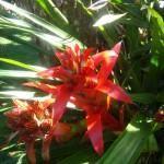 Bromelia Guzmania (Guzmania)