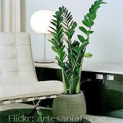 zamioculca - ideal para interior