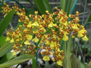 Orquídea Chuva de Ouro (Oncidium)