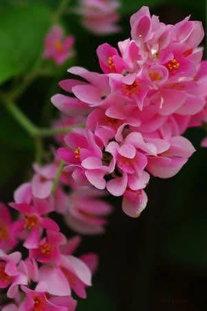 amor-agarradinho flores