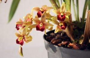 Orquídea Cimbido (Cymbidium)