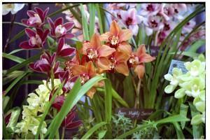 Orquídeas Cymbidums