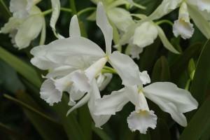 Orquídea Lélia Branca (Laelia Lobata)