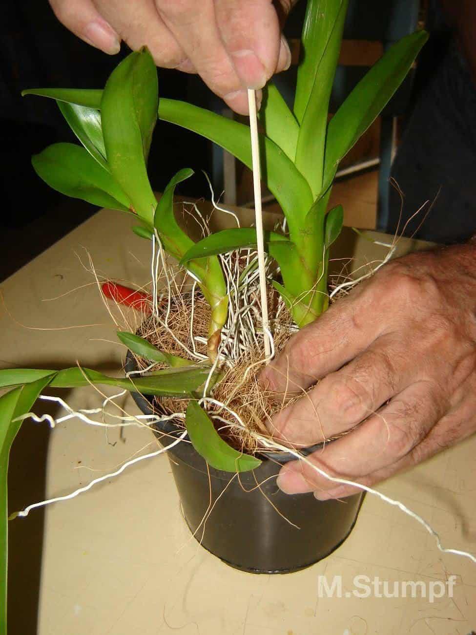 plantando orquideas em vasos Foto n.7 Fixando o tutor 2 #446A04 1536x2048