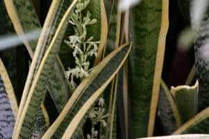 flor espada de são jorge