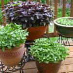 Como plantar o Manjericão (Ocimum basilicum)