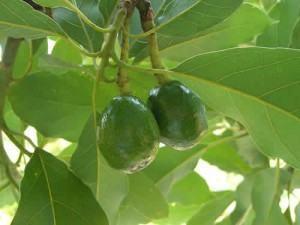 Abacateiro (Persea americana)