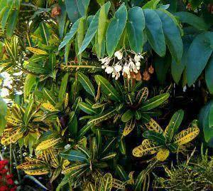 arranjo croton com begonia