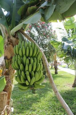 Como plantar um pomar caseiro - Bananeira