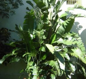 Bananeira (Musa sp)