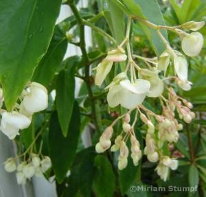 Begonia alta