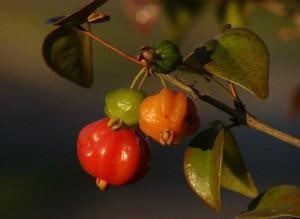 Pitangueira (EugeniaUniflora)