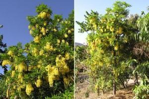 Cássia ou Fedegoso (Cassia macranthera)