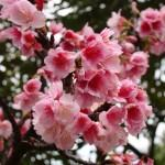 Cerejeira Rosa (Prunus campanulata)