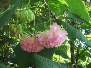 Astrapeia (Dombeya wallichii)
