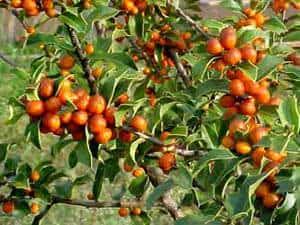 Fruto da espinheira santa