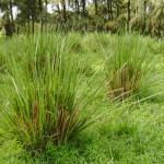 Capim Vetiver (Vetiveria zizanioides)