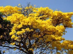 Ipê Amarelo (Tabebuia chrysotricha Standl)