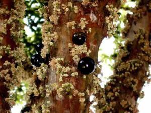 Jabuticabeira (Myrcia cauliflora)