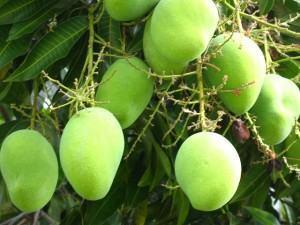 Como plantar um pomar caseiro mangueira