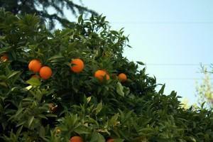 Laranjeira (Citrus sinensis)