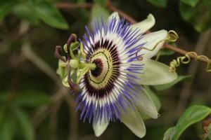 Pé de Maracujá (PassifloraDriander)