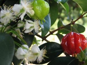 Pitangueira (Eugenia uniflora)