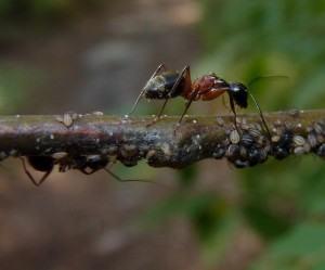 Formigas e Pulgões em uma árvore