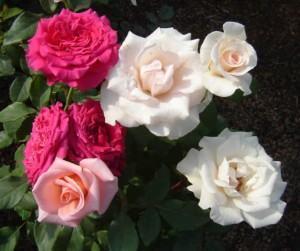 Muitas rosas são cultivadas para perfumes