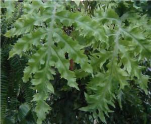 Samambaia-azul (Polypodium aureum)
