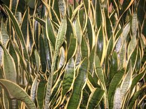 Espada de São Jorge (Sanseveria trifasciata)