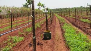 Plantação de Maracujás