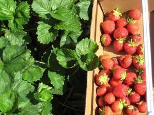 Morango: irrigação e colheita