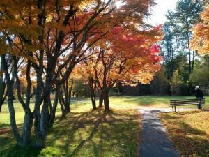 Acer japonês (Acer palmatum)
