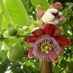 Qual Frutífera Plantar?